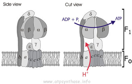 Cartoon illustration of ATP synthase