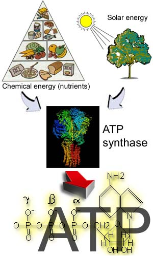 Scheme of energy conversion during ATP synthesis