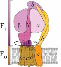 A color cartoon showing the structure of ATP synthase from bacteria