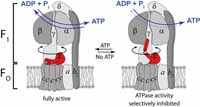 Regulatory transitions of subunit epsilon in ATP synthase from Bacillus PS3